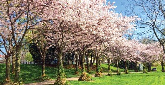 cherry-blossom-burlington-covid-19-update
